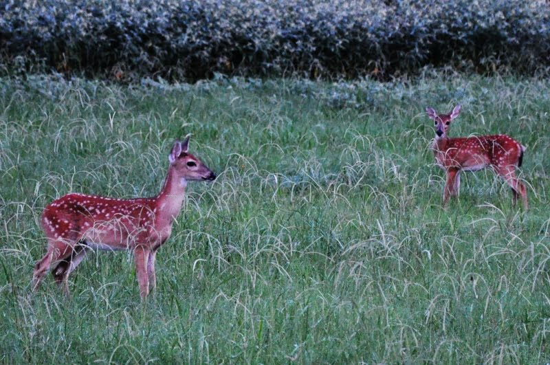 two deer in the grass