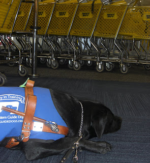 Duchess in a down-stay (sleeping...), you can see the Best Buy buggies behind her, she is wearing her coat/harness