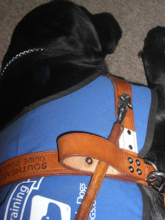 Photo of Duchess in a down-stay sleeping. She is wearing her coat/harness