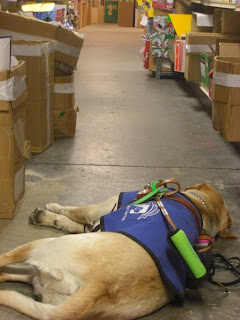 Photo of Toby in coat/harness, he is in a down-stay sleeping, you can see items on shelves beside him