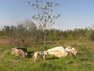 Photo of Toby in a stand-stay beside some big rocks and a tree