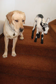 Picture of Toby showing Fresca how to use the stairs - he's sitting on them, waiting for Fresca to follow