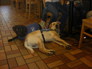 Picture of Toby in a down-stay inside Wendy's. He is beside Duchess and Cassie is behind him