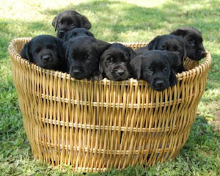 Very cute photo of 8 black puppies in a basket - one is mine... I just don't know which one!