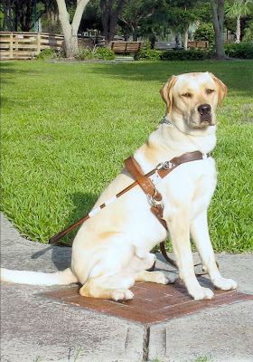 Picture of Toby in a sit-stay wearing a harness. He looks very grown up! The back ground is grass and a sidewalk down at the school