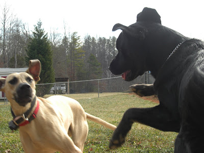 Picture of Tracker & Rudy playing with each other in the chain link fence