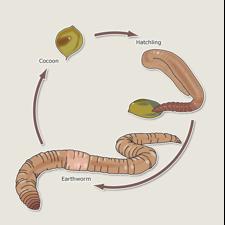 Earthworm External Parts Diagram Human Digestive System ...