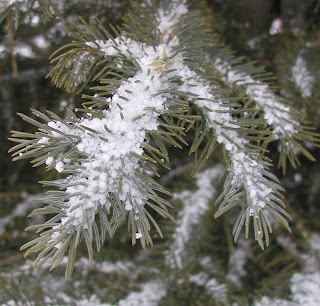 Graupel (snow pellets) on a spruce tree