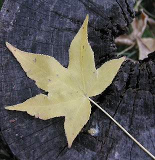 Yellow autumn leaf on a old tree stump