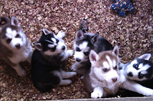 Skye's Husky Puppies Blog