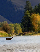 buck crossing the river above a riffle
