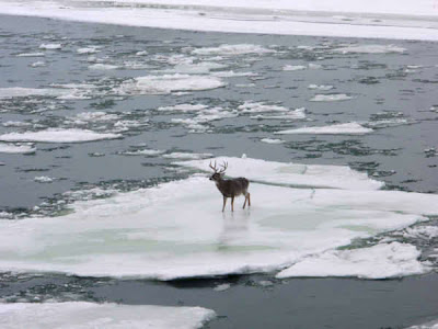 Whitetail Buck on ice
