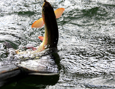 Blackfoot River Trout