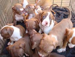 cachorros da Raça PitBull