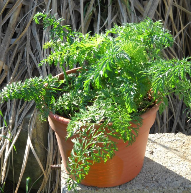 Pond and water garden carrots as an ornamental garden plant for Ornamental pond plants