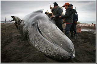 Butchering whale