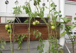 Blekta gröna tomater