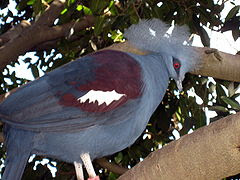 Blue Crown Pigeon