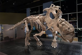 pachyrhinosaurus skeleton  Funny thing is, I actually