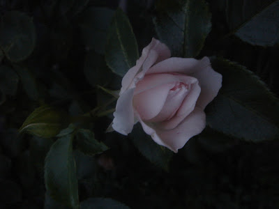 Roses are…