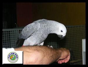 Papagaio Cinzento ou Psittacus erithacus (criados à mão)