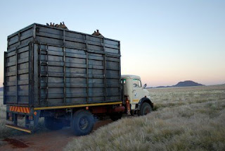 Giraffes arrive at NamibRand Nature Reserve