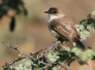 Marico Flycatcher