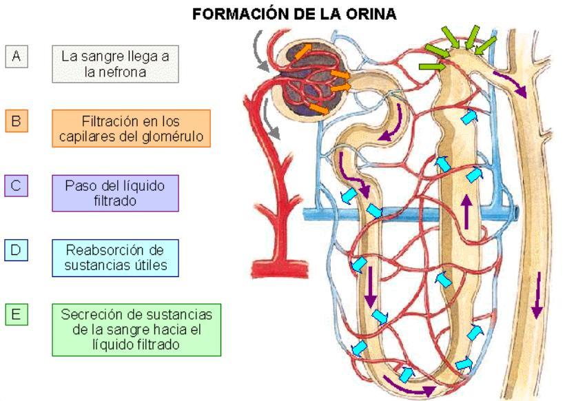 El sistema excretor hacia el alfabetismo cientifico for En k parte del cuerpo estan los rinones
