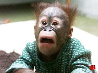 funny pictures of monkeys. funny pictures of monkeys.