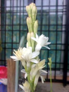 Bunga sedap malam biasa mekar di malam hari. tanaman ini diperkirakan