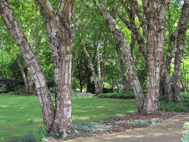 River birch trees - so peachful!