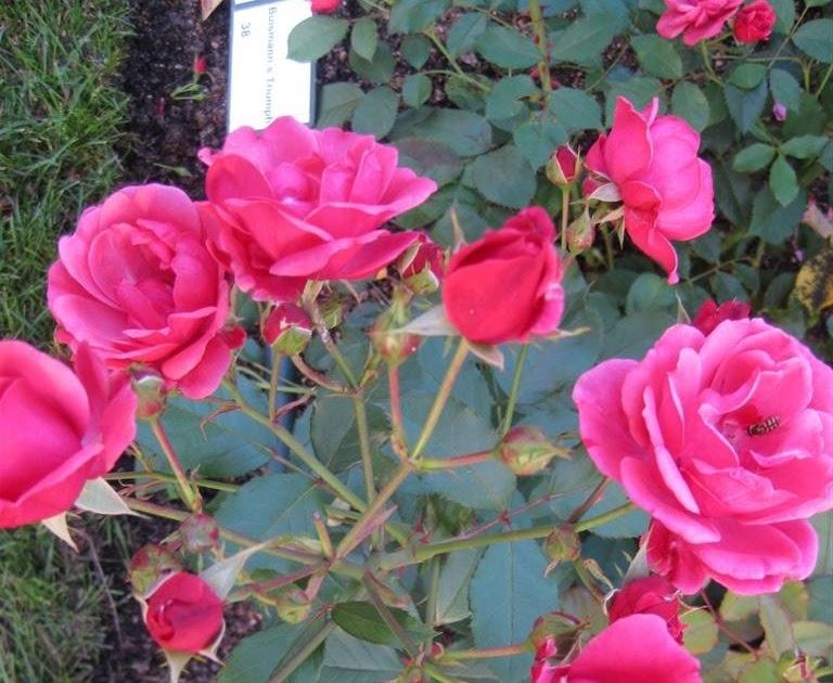 Blog da Mélica Um mágico jardim de rosas