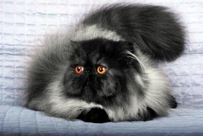 Persian Cat Images