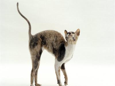 Cornish Rex Domestic Cat