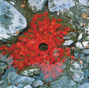 Maple leaves arrangements