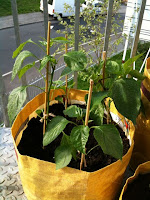 chilli and sweet peppers caned & stable in yellow planter bags