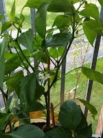 chilli pepper plants in flower
