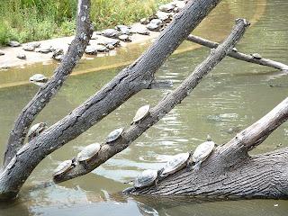 Tortues de Floride sur des troncs