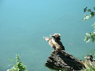 Un canars s'ébrouant au bord du lac