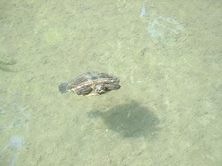Ombre d'une tortue projeté au fond du bassin