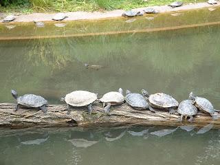 Tronc d'arbre couvert de tortues
