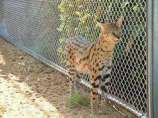 Un serval en gros plans devant le grillage