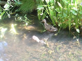 Un canard et un caneton dans le bassin aux nénuphars