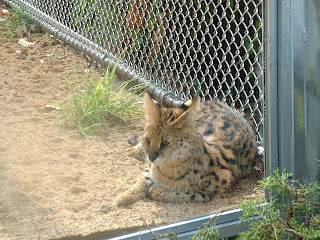 Un serval se repose dans son enclos