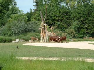 Les watusis, girafes et cobes de Mrs Gray réunis dans la plaine africaine