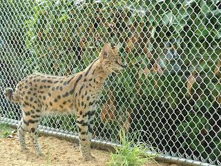 Serval devant le grillage de sa cage