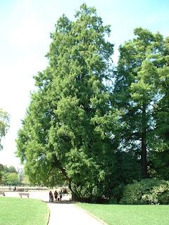 Un cyprès chauve de plusieurs dizaines de mètre de hauteur