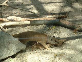Une mangouste à l'affut
