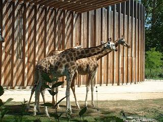 Deux girafes à proxumité de leur enclos