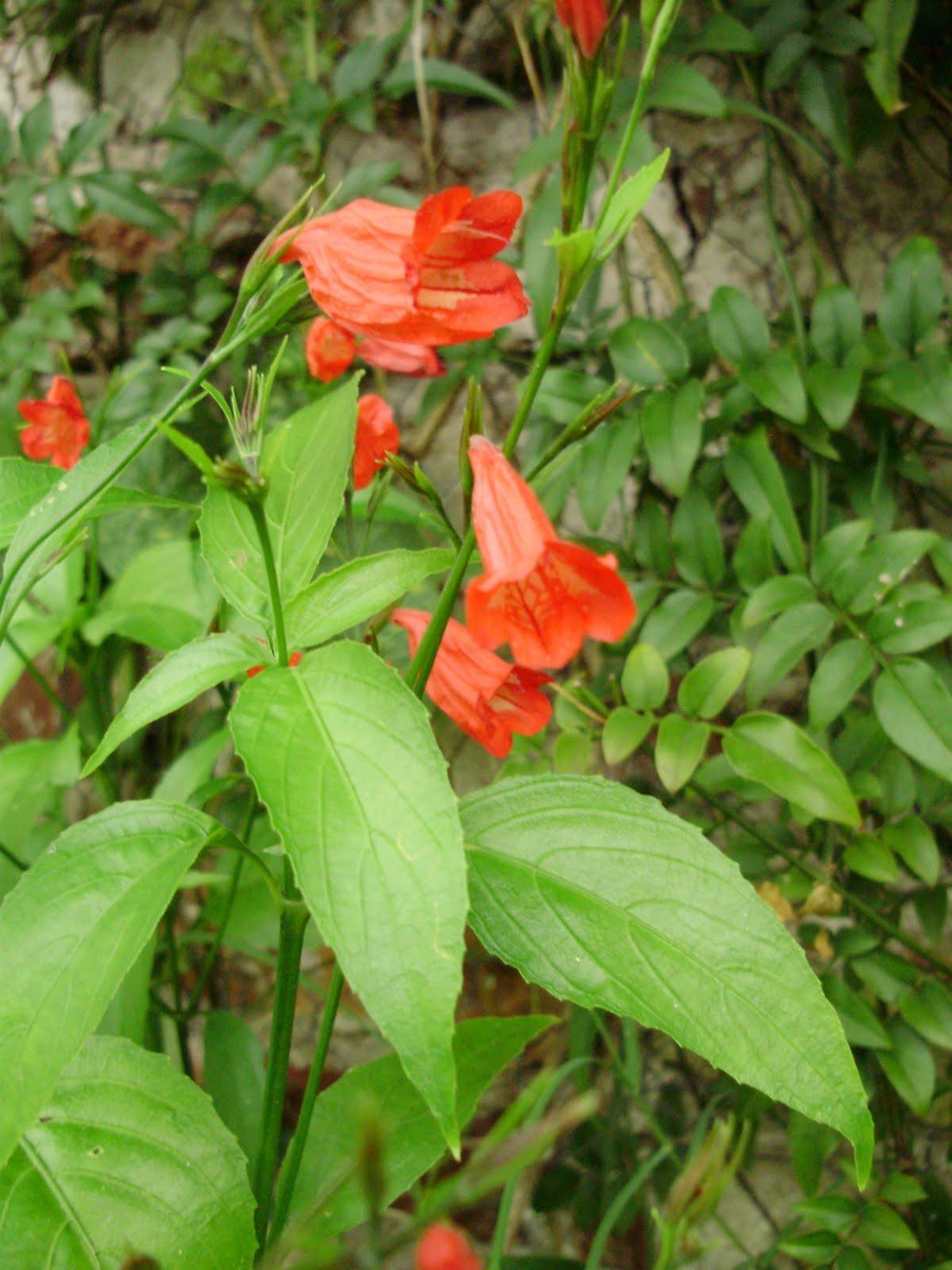 Qinti wasi plantas nativas de argentina ruellia brevifolia for Vivero plantas nativas